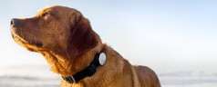 Whistle Activity Monitor   FitBit for dogs that monitors with iPhone